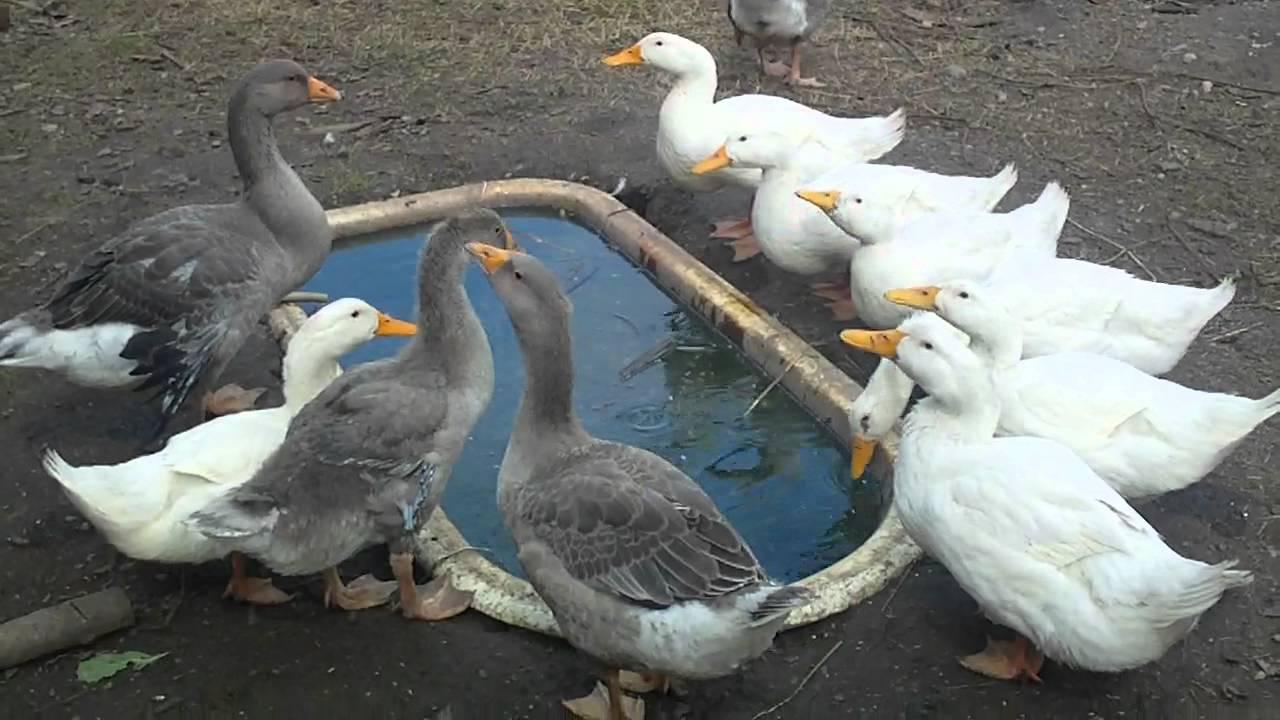 Как сделать пруд на даче для гусей 187