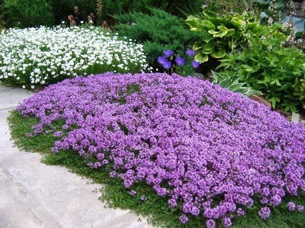 Низкорослые многолетние бордюрные цветы для клумбы