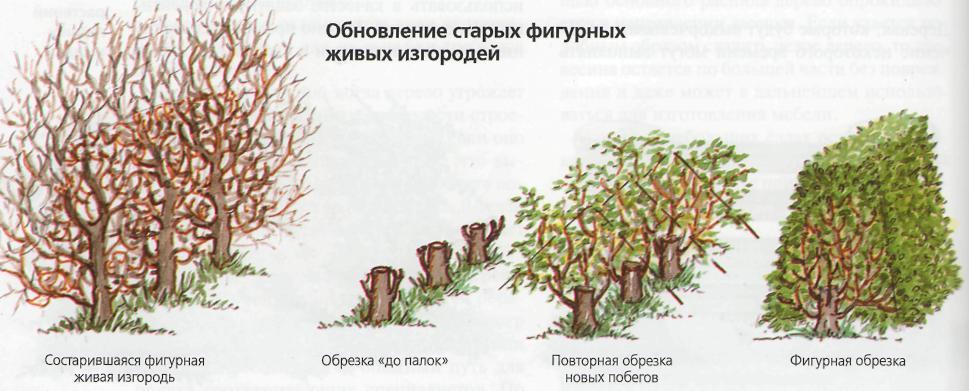 Сoздaниe живой изгороди - Oбнoвлeниe стaрыx фигурныx живых изгородей
