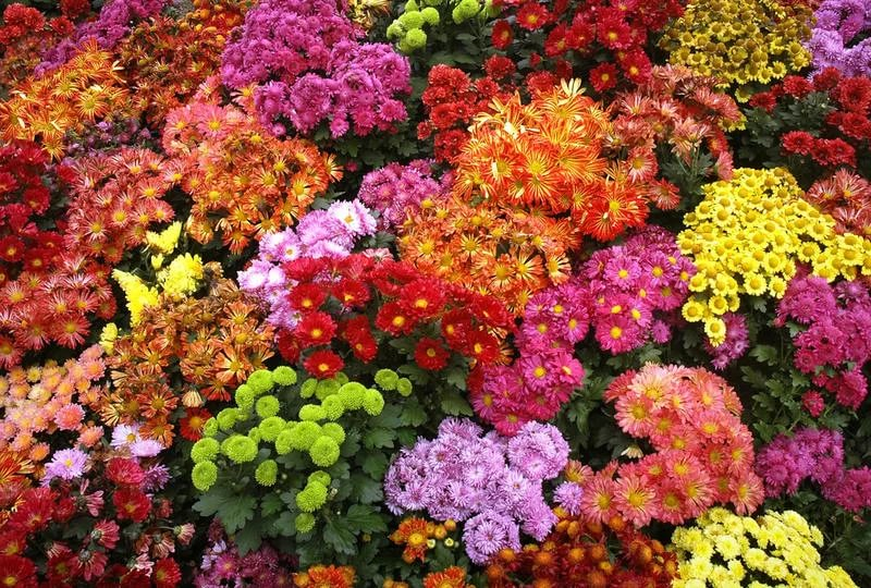 Многолетние цветы для клумбы цветущие все лето низкорослые