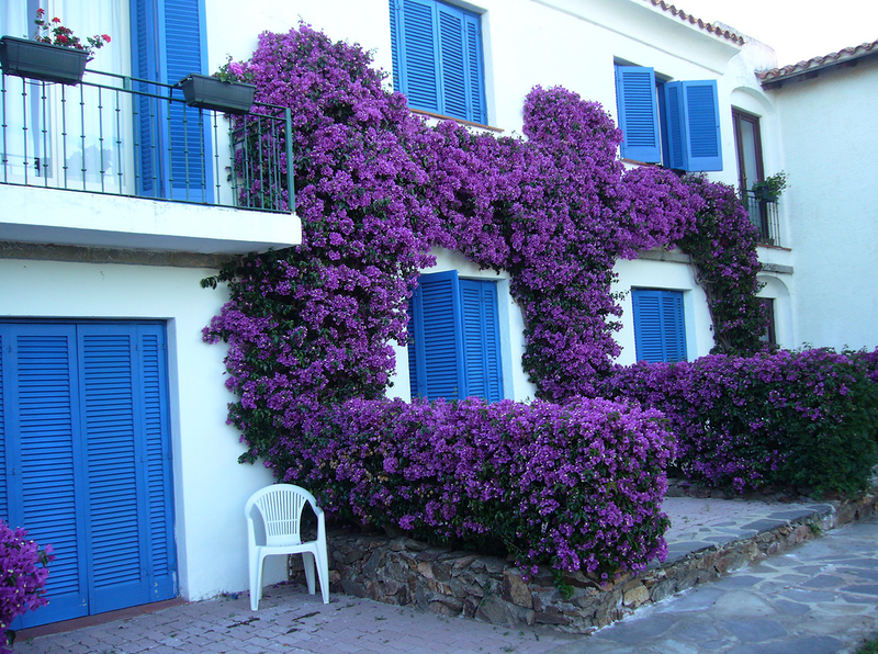 Вьющиеся цветы дачи многолетние   фото