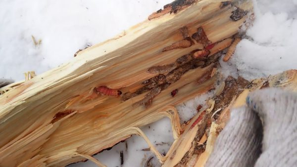 Как избавиться от муравьев и короеда в бане